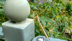 (mahler9) Tags: jaym october 2019 garden prayingmantis insect