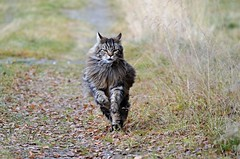speedy cat and slow autofocus.......... (KvikneFoto) Tags: katt cat elvis tamron nikon høst autumn fall bokeh