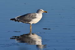 goéland leucophée  / Larus michahellis 19E_4180 (Bernard Fabbro) Tags: larus michahellis goéland leuco yellowlegged gull oiseau bird