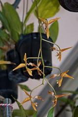 Gongora rufescens (douneika) Tags: gongora rufescens orchidea orchidaceae orquidea orchid orchidee taxonomy:family=orchidaceae taxonomy:binomial=gongorarufescens