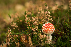 Fly agaric between heather | Vliegenzwam tussen de heide (Leo Kramp) Tags: web vliegenzwam data nederland leersumseveld velbonv4horizontalhead manfrotto410juniorgearedhead wwwleokrampfotografienl accessoires gitzogt3542ltripod photography paddenstoelen leokrampfotografie natuurfotografie leersum 2019 2010s plaatsen accessoiries amanitamuscaria flyagaric mushrooms naturephotography netherlands places utrecht manfrottolbracketms050m4rc4