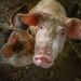Criadero de Cerdos I...