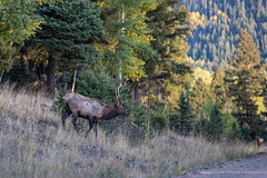 Elk on El Camino Real (webersaustin) Tags: