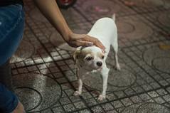 doggy 4 (kuuan) Tags: mf manualfocus penf zuiko penff1440mm 1440mm apsc sonynex5n vietnam saigon night street dog doggy eyes look duck stroking hand