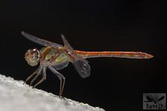 Common Darter- Sympetrum striolatum ( BlezSP) Tags: madrid odonata libélulas dragonflies iberian spain anisoptera
