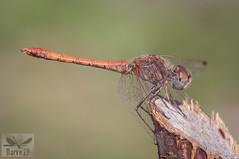 Desert Darter - Sympetrum sinaiticum ( BlezSP) Tags: madrid odonata libélulas dragonflies iberian spain anisoptera