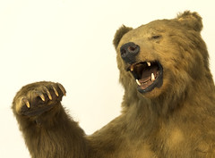 Fierce Pose (simonannable) Tags: fujifilmxt2 fujifilm18135mm fujifilm bear brownbear animal beast claws teeth paw fierce apex predator furry sad stuffed taxidermy trophy hunting end creature
