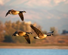 Canada Geese In Flight (wfgphoto) Tags: canadageese flying lake water mountains sky motion