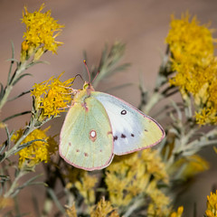 Orange Sulphur, Colias eurytheme, Female, white form (webersaustin) Tags: