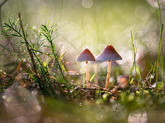Shroom magic | SONY ⍺7RII & Sigma FE 1.8/135 Art (.: mike | MKvip Beauty :.) Tags: sony⍺7rmarkii sony⍺7rii sonyilce7rm2 sonyalpha7rm2 sonyalpha sony alpha emount ⍺7iii ilce7rm2 ibis sigmafe135mmƒ18dghsm| sigma art 135mmƒ18 closeup macro makro handheld availablelight naturallight backlight backlighting shallowdof bokeh bokehlicious beyondbokeh extremebokeh smoothbokeh dreamy soft zen nature mushrooms fungi waterdrops drops reflections indiansummer autumn fall kandel germany europe mth mkvip sigmafe135mmƒ18dghsm|art ngc npc