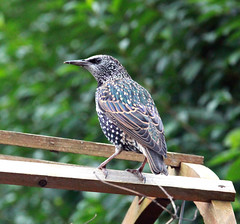 Starling on the look out for food (Blossom's Mom.(Sheila Hess)) Tags: bird starling garden october 2019