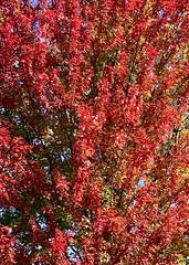 Autumn blush on the Shelton River Walk. #Autumn #Fall #SheltonCT #foliage #leaves #leaf #newengland #riverwalk (nomad7674) Tags: autumn blush shelton river walk fall sheltonct foliage leaves leaf newengland riverwalk 2019 20191015 october wallpaper