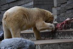 Ijsbeer (Ursus maritimus) | Wuppertaler Zoo (Frank Berbers) Tags: ijsbeer poolbeer ursusmaritimus eisbär polarbär polarbear oursblanc ourspolaire zoogdier mammalia carnivora roofdier ursidae beren bär ours nikond5600 dierentuin dieren tiergarten zoo jardinzoologique wuppertalerzoo