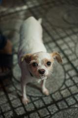 doggy 5 (kuuan) Tags: mf manualfocus penf zuiko penff1440mm 1440mm apsc sonynex5n vietnam saigon night street dog doggy eyes look