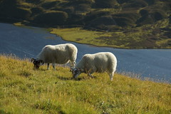 Highland Grazing (steve_whitmarsh) Tags: aberdeenshire scotland scottishhighlands highlands cairngorms mountain hills wildlife animal sheep landscape nature topic abigfave