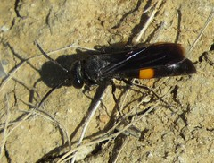 Cuckoo Sand Wasp (Bug Eric) Tags: animals wildlife nature outdoors insects bugs wasps crabronidae hymenoptera chicobasinranch colorado usa female stizoidesrenicinctus northamerica august172019