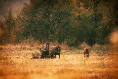 horse cart in the field (proffkom_) Tags: horse ukraine bukovina rural villge countryside autumn color