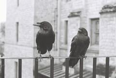 Ravens (goodfella2459) Tags: nikonf4 afnikkor50mmf14dlens ilfordpanfplus50 35mm blackandwhite film analog ravens birds london history toweroflondon animals buildings bwfp
