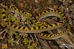 Lamprophis fiskii - Fisk's House Snake. (ping.tyrone) Tags: lamprophis fiskii fisk's house snake snakes wild life nature natural amazing rare fisk reptile reptiles northern cape southern african south africa canon 5dmiiii tyrone ping wwwtyronepingcoza photography photo ngc nat geo wildlife western herps herping