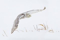 Snowy Owl (Malcolm Benn) Tags: snowyowl owl ontario canada canon 1dmiv 300mm winter bird snow mgbenn malcolmbenn 2015