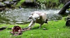 Gänsegeier (hansjrgenknppel) Tags: gänsegeier vogel geier natur nikon d 850 nikkor 200mm f2
