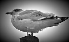 The Seagull (Κostas) Tags: seagull blackwhite bw bird