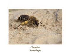 Insektenmakro (ernst.ruhe) Tags: fotosvonernstruhe fotovonernstruhe insektenmakro insecta insekten hautflügler sandbienen biene bienen andrenidae