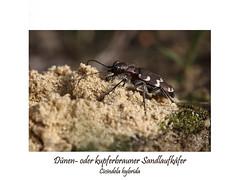 Insektenmakro (ernst.ruhe) Tags: cicindelidae cicendelahybrida coleoptera käfer insektenmakro makroaufnahme insecta insekten neuflügler pterygota fotosvonernstruhe fotovonernstruhe