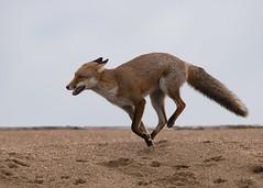 Red Fox (vulpes vulpes) (Steve Ashton Wildlife Images) Tags: red fox redfox cub vulpes vulpesvulpes foxcub
