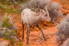 Desert Bighorn Lamb (Wycpl) Tags: desertbighornlamb lamb wildlife nevada sheep jcpphotography desert