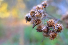 Untitled (jttoivonen) Tags: nature plant flora arctium closeup bokeh burdock outdoors finland creativecommons autumn