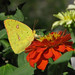 a lady Cloudless sulphur on red zinnia