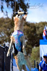 DSC_0089-1 (ScootaCoota Photography) Tags: pet dogs wet water animal sport toys jump dock action diving bumper show photography fly photo nikon air country royal australia fair perth wa golden retriever