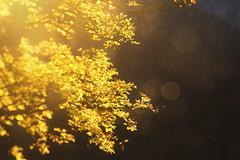 Goldener Oktober (memories-in-motion) Tags: ahorn bergahorn gegenlicht berge dachstein österreich herst laub färbung caon 5dmarkiv tse90mmf28 tilt shift alpen