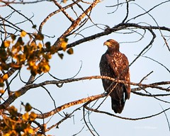 Immature Bald Eagle (wfgphoto) Tags: baldeagleimmature sunrise sidelight goldenhour perched tree