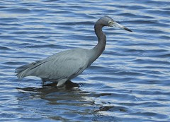 Little Blue Heron in San Diego (Ruby 2417) Tags: rare rarity blue heron bird wildlife nature san diego smiley lagoon water bay shore beach