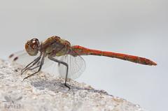 Common Darter - Sympetrum striolatum ( BlezSP) Tags: madrid odonata libélulas dragonflies iberian spain anisoptera
