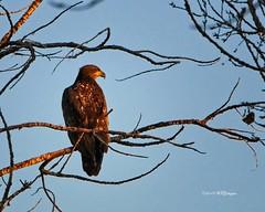 Immature Bald Eagle 2 (wfgphoto) Tags: immaturebaldeagle perched tree sky sunrise goldenlight