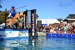 DSC_0171-1 (ScootaCoota Photography) Tags: dogs animal pet dock diving sport water wet toys bumper jump action air fly perth royal show country fair australia wa nikon photo photography golden retriever
