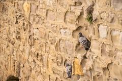 Palomas (eitb.eus) Tags: eitbcom 42342 g1 tiemponaturaleza tiempon2019 fauna bizkaia getxo teresapeñabringas