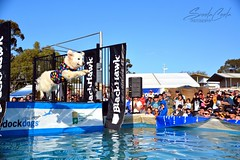 DSC_0142-1 (ScootaCoota Photography) Tags: dogs animal pet dock diving sport water wet toys bumper jump action air fly perth royal show country fair australia wa nikon photo photography golden retriever