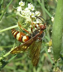Western Cicada Killer (Bug Eric) Tags: animals wildlife nature outdoors insects bugs wasps solitary male chicobasinranch colorado usa westerncicadakiller spheciusgrandis northamerica august172019 hymenoptera crabronidae