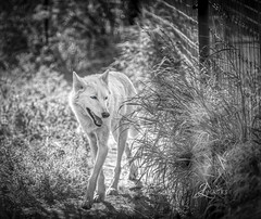 White Wolf w/ Blue Eyes in B/W (JuanJ) Tags: nikon d850 lightroom art bokeh lens light landscape happy naturephotography outside nature people white green red black pink skyportrait location architecture building city square squareformat instagramapp shot awesome supershot beauty cute new flickr amazing photo photograph fav favorite favs picture me explore interestingness friends dof sunset sky flower night tree flowers portrait fineart sun clouds animal wolf blackandwhite alaska alaskawildlifeconservationcenter