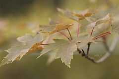 I am such an autumn person... (Karl's Gal) Tags: autumnblazemaple branch leaves maple fall autumn karlsgal