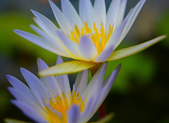 Water Lilies after the rain (vguzman1120) Tags: waterlily flower nikon nikkor d5300 ftbg macrophotography