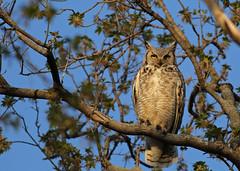 Great Horned Owl...#4 (Guy Lichter Photography - 5.2M views Thank you) Tags: canon 5d3 canada manitoba winnipeg wildlife animal animals bird birds owl owls greathornedowl