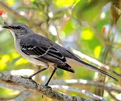 Sunny Side Up (ACEZandEIGHTZ) Tags: macro feathers mockingbird nature avian winged nikond3200 florida statebird closeup mimuspolyglottos backyard birdwatcher bokeh bright sunny color