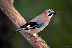 _DSC5571-copia (RikiAguilar) Tags: ave aves bird birds pajaro arrendajo plumas pico verde naturaleza nature outdoors free hide nikon