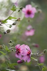 Contact végétal * (Titole) Tags: pink bloom titole nicolefaton bud friendlychallenges