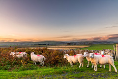 15th October 2019 (Rob Sutherland) Tags: sheep birkrigg common evening sunset ulverston animals livestock farm farming upland bracken fall colour color cumbria cumbrian hill fell lakes lakeland lakedistrict north northern england enlgish britain british uk